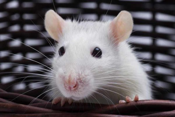facts_about_rats_238780573_768